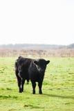 在象草的领域的小牛 库存照片