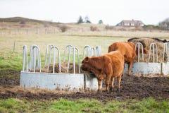 吃草在大农场的母牛 库存照片
