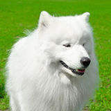 萨莫耶特人狗 免版税库存照片