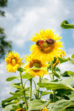 Αστείος ηλίανθος με τα γυαλιά ηλίου Στοκ εικόνες με δικαίωμα ελεύθερης χρήσης
