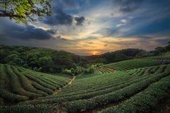 在剧烈的桃红色日落天空的茶园谷在台湾 免版税库存图片
