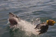 μεγάλο λευκό καρχαριών Στοκ εικόνες με δικαίωμα ελεύθερης χρήσης