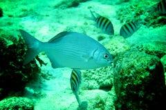 珊瑚礁、热带鱼和海洋生活在加勒比海 免版税库存图片