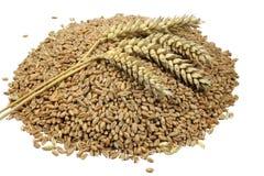 麦子五谷和谷物钉 背景查出的宏观射击麦子白色 免版税库存图片