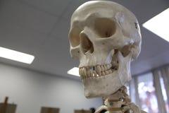 人的头骨解剖模型 库存图片