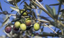 Оливка на ветви Стоковые Изображения