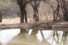 站立近对池塘的羚羊 库存照片