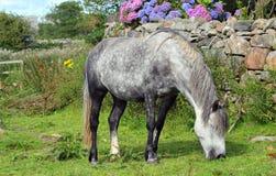 起斑纹的灰色马和石墙 库存照片