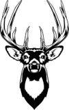 白尾鹿头 免版税图库摄影