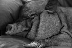 睡觉猪 免版税库存图片