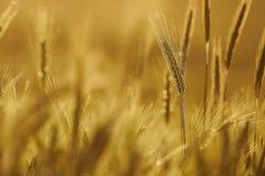 黑麦的耳朵 免版税库存照片