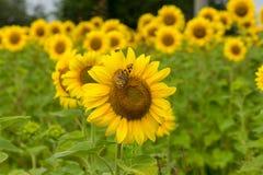 在向日葵的蝴蝶 免版税库存照片