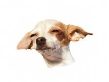 短毛猎犬头  图库摄影