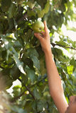 到达生长高苹果的女孩照片 库存照片