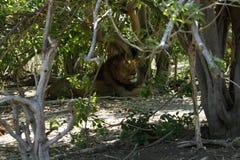 大非洲公狮子在树荫下 库存照片