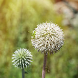Большой круглый белый цветок с зеленым кузнечиком Стоковое фото RF