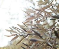 Завтрак-обед оливкового дерева Стоковое Изображение