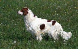 爱尔兰男性赤毛的塞特种猎狗白色 免版税库存图片