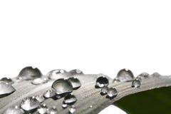 在白色隔绝的叶子的雨珠 免版税库存照片