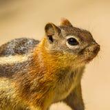 金黄陆运被覆盖的灰鼠 免版税库存照片