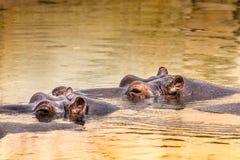 非洲河马在他们的自然生态环境 肯尼亚 闹事 免版税库存图片