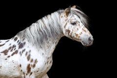 阿帕卢萨马马或小马的画象 图库摄影