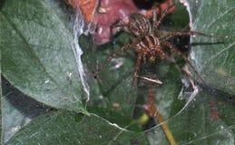 υψηλή αράχνη φωτογραφιών ενίσχυσης άλματος μακρο Στοκ Φωτογραφίες