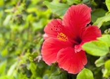 与叶子的红色木槿花 免版税图库摄影