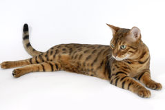 γάτα της Βεγγάλης Στοκ Εικόνα