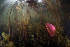 水生植物群在淡水湖 免版税图库摄影
