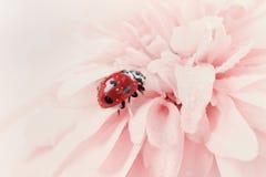瓢虫或瓢虫在水中在一朵桃红色花滴下 库存照片