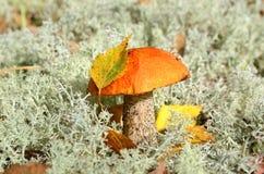 橙色盖帽蘑菇 库存图片
