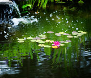 睡莲叶和荷花在池塘 免版税库存照片