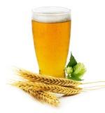 杯新鲜的啤酒用绿色被隔绝的大麦的蛇麻草和耳朵 免版税库存图片