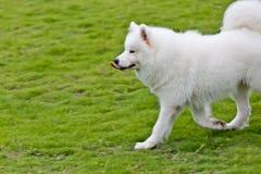 萨莫耶特人狗赛跑 免版税库存图片