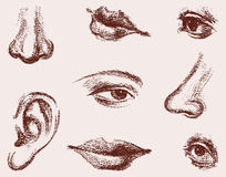 Части человеческого лица Стоковое Изображение