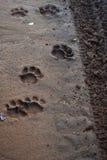 Печати лапки льва Стоковая Фотография
