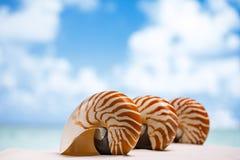 在白色佛罗里达海滩沙子的三个舡鱼壳在太阳下 图库摄影