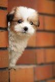 собака младенца Стоковая Фотография