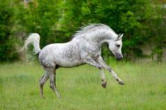 在绿色背景的阿拉伯马奔跑疾驰 免版税库存图片