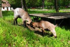 两只年轻国内白色山羊战斗 免版税库存照片