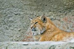 Рысь в зоопарке Москвы Стоковые Изображения RF
