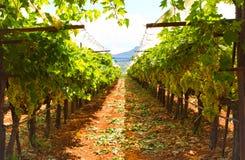 希腊葡萄园 库存图片