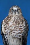 飞过的清楚的鹰 免版税库存图片
