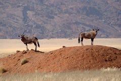 两只大羚羊羚羊在纳米比亚沙漠 免版税库存照片
