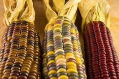 三印第安玉米的耳朵 库存照片