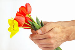 Τα χέρια παρουσιάζουν μια ανθοδέσμη των κόκκινων και κίτρινων τουλιπών στο άσπρο υπόβαθρο Στοκ φωτογραφία με δικαίωμα ελεύθερης χρήσης