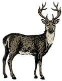 Эскиз северного оленя Стоковые Изображения