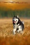 лайка собаки Стоковое Фото