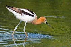 美国长嘴上弯的长脚鸟 免版税图库摄影